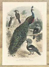 Peacock Kookaburra Pigeon Bird Print - c.1880 Antique Hand Coloured Engraving