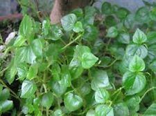 100 seeds peperomia pellucida Pansit-pansitan shiny bush Peperomia pellucida