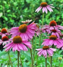 100 Purple Coneflower seeds Echinacea Purpurea  Flower / Herb Combine SH A25