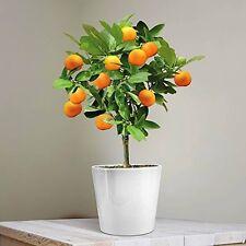 Orange Tree Mini Citrus Fruit Patio Plant House Garden Gift Present Conservatory