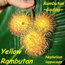 ~YELLOW RAMBUTAN~ TROPICAL FRUIT TREE Nephelium lappaceum LIVE Sm Pot'd PLANT