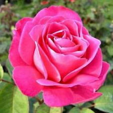50 semi di ROSA ROSA + OMAGGIO