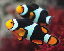 TWO (X2) ONYX CLOWN FISH LIVE (PAIR) MED WITH *FREE BUBBLE ANEMONE
