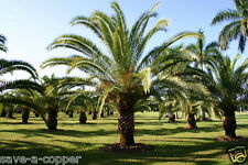 PHOENIX CANARIENSIS - CANARY ISLAND DATE PALM -TROPICAL PLANT - 12 QUALITY SEEDS