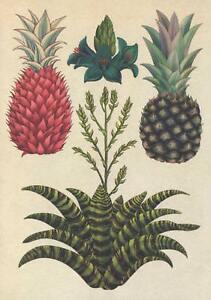 PINEAPPLES & KING of BROMELIADS POSTCARD - BOTANICUM - Kew Royal Botanic Gardens