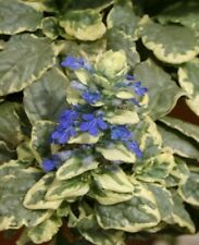 3 X Ajuga reptans 'Variegata',  Alpine, Spreading Ground Cover, plug plants