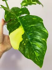 Fully Rooted Philodendron Ring Of Fire Variegated Plant