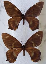 Papilio toboroi Paar