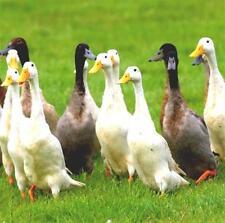12 x Mixed Indian Runner Duck Hatching Eggs Fertile