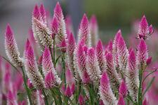 """F0099 Celosia Plumosa Spicata""""Flamingo Feather"""" x100 seeds"""