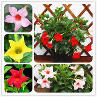100 Pcs Seeds Mandevilla Sanderi Bonsai Potted Flowers Plants Home Garden NEW C