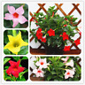 100 Pcs Seeds Mandevilla Sanderi Bonsai Potted Flowers Plants Home Garden NEW C