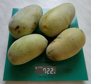 Asimina triloba – pawpaw - 50 fresh s***s from cultivated varieties - АЗИМИНА
