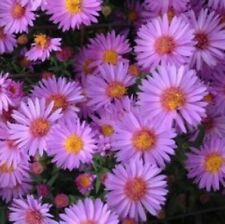 """sun aster Woods Purple compact native flowers 2.5"""" pot = 1 Live Potted Plant"""