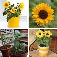 20pcs Mini Dwarf Yellow Sunflower Flower Seeds Home Garden Office Decor Plant JL