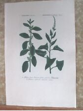"Vintage Engraving,BLITUM,C.1740,WEINMANN,Botanical,20x13.5"",Mezzotint"
