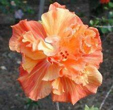 20 Double Orange Yellow Hibiscus Seeds Hardy Perennial Flower Garden Exotic 365
