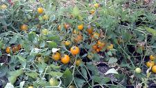Tomato Seeds Tumbling Tom Yellow 50 Tomato Seeds 65 days Garden Starts