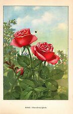 """1926 Vintage GARDEN FLOWER """"ROSE"""" GORGEOUS COLOR Art Print Lithograph"""