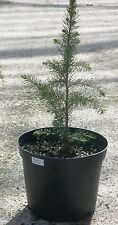 Serbian Spruce,Picea Omorika,Christmas Tree Conifer and Bonsai 30 - 50cm inc pot