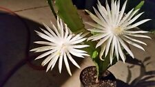 "9""-12"" White Night Blooming Epiphyllum Orchid Cactus Cutting"