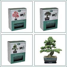 Bonsai Tree Grow Your Own Kit Gift Set, Pine, Gum with Traditional Glazed Pot