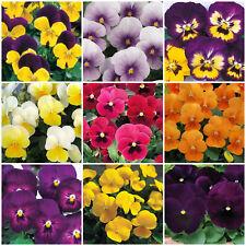 Viola Mini Plug Plants x 24 'Grandissimo Mix' Winter Pansies