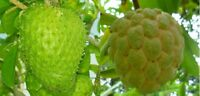 15 SEEDS-5 Soursop ,Guanabana + 10 Sugar-Apple Annona Squamosa Sweetsop Seeds US