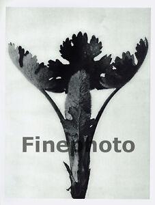 1929 KARL BLOSSFELDT Original BOTANICAL PLANT Tree Abstract Germany Photo Art