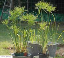 1 plant Papyrus Cyperus Alternifolius 15/20 cm plante bassin jardin, appartement