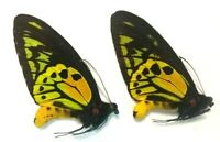 Butterfly Ornithoptera Croesus Lydius, Male 2 pcs, Morotai - Indonesia
