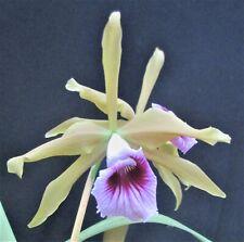 New listing Rare Cattleya Orchids - L tenebrosa bronze