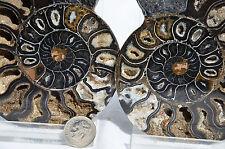 "RARE 1 in 100 BLACK PAIR Ammonite Crystal LARGE 114mm Dinosaur FOSSIL 4.5"" n1948"