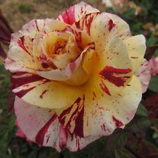 OOH LA LA, 4lt Potted Floribunda Garden Rose, Lemon/Cherry/Cream-New & Exclusive