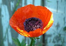 Oriental Poppy Seeds : Papaver orientale
