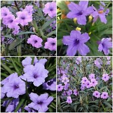 12 Mexican Petunia~Ruellia Brittoniana Perennial Well Rooted Plants Shrub Garden