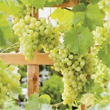 Large Green White Grape Vine Plant Muscat Of Alexandria 3L Pot Indoor Soft Fruit