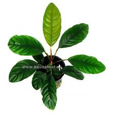 Anubia Coffeefolia Topf, robuste Wasserpflanze, Aquariumpflanze, Barschfest