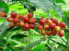 One aribaca coffee plant