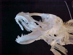 Taxidermy fish, Great skull skeleton of Muraena Sp. Amazing work for study NEW!!