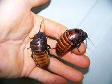New listing 2 Trio's,2 m,4 fem , Madagascar Hissing Cockroaches, dubia roach alturnative