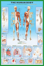 THE HUMAN BODY 24X36 POSTER DOCTOR ANATOMY SKELETON MUSCLES ORGANS OFFICE GIFT!!