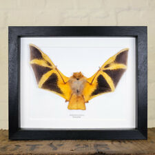 Painted Bat in Box Frame (Kerivoula picta)