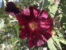 Stockmalve 30 Samen Stockrose alt rosa Bauernrose erika