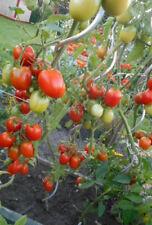 4 verschiedene Freilandtomaten Tomate weitgehend resistent ohne Dach