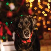 Christmas Cards & Packs - Festive Senior Black Labrador Dog Lab *Fast FREEPOST*