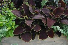 Flower - Coleus - Chocolate Mint - 10 Pelleted Seeds