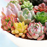 Mixed Rare Succulents Seeds Easy To Grow Potted Flower Seeds Bonsai Seeds 100Pc