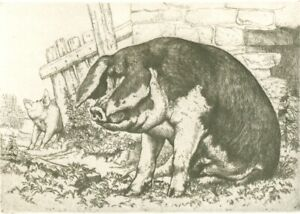 Mounted Print. The Spotted Sow  Charles Tunnicliffe