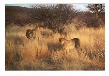 Vintage Photo Cheetah African Safari 1990's May17